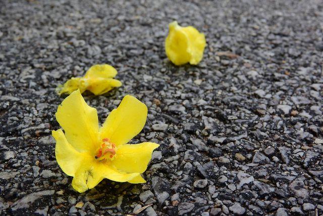 Getrocknet lässt sich aus den Blüten der Königskerze ein Tee zubereiten, der gegen Erkältungen und Hustenreiz hilft.