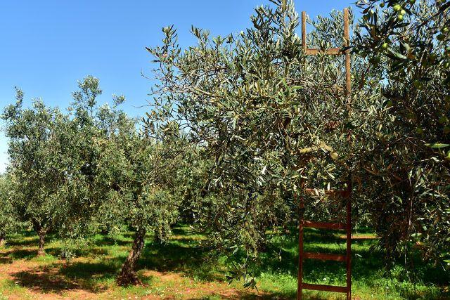 Wird ein Olivenbaum in regionalen Baumschulen herangezogen, hat er eine größere Chance, winterhart zu sein.