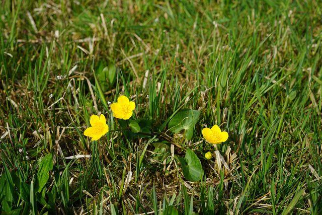 Die gelbe Sumpfdotterblume wächst in der freien Natur vor allem in Sumpfgebieten und in der Nähe von Teichen.