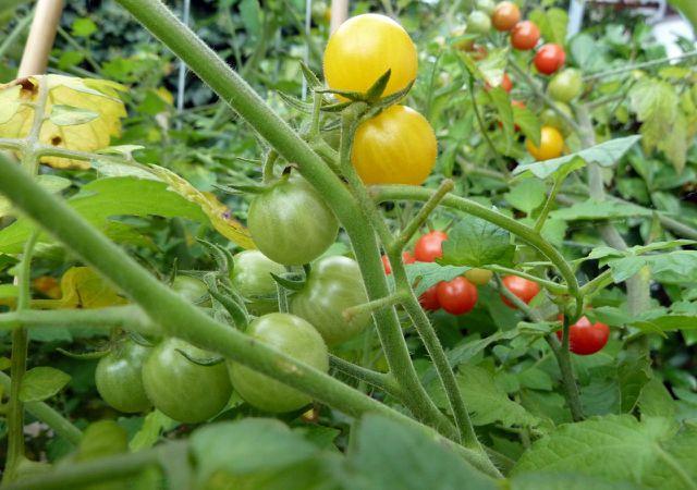 Tomaten pflanzen: Sorte Rote Murmel Cocktailtomate