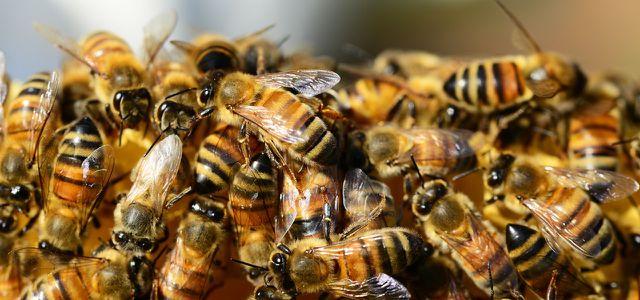 Bienensterben: Neonicotinoide sind schuld