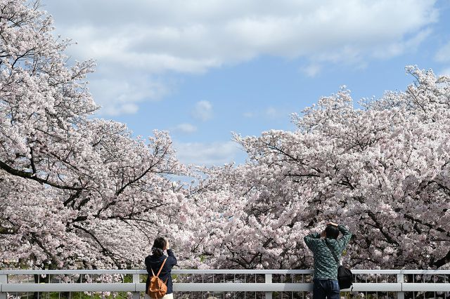 Kirschbäume sind nicht nur aufgrund ihrer Blüten und Früchte beliebt, sondern auch aufgrund ihres edlen Holzes.