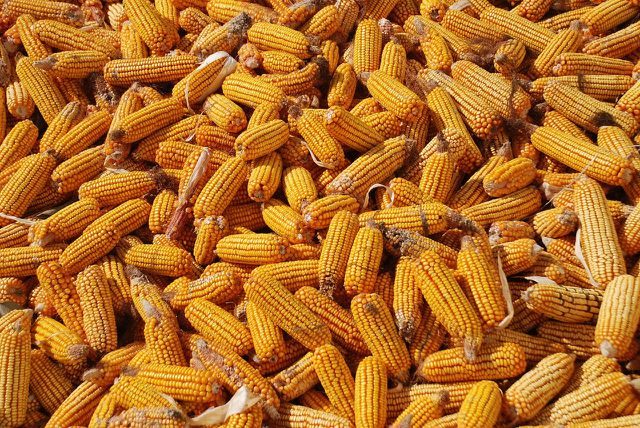 Gentechnik verspricht weniger Verluste bei der Ernte