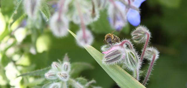 Heimische Honigbienen sind wichtig für die Bestäubung