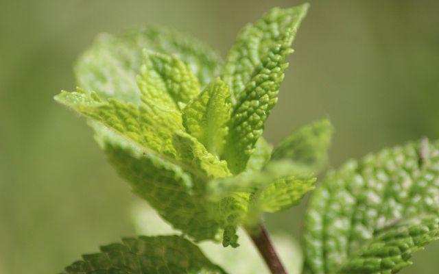 Growing mojito mint