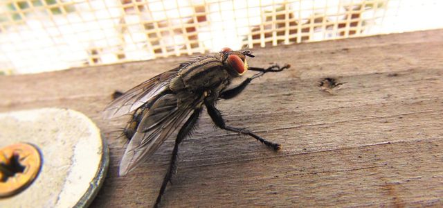 Fliegen Vertreiben Die Besten Hausmittel Gegen Stubenfliegen
