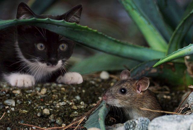 Um Mäuse zu vertreiben reicht es schon, etwas benutztes Katzenstreu in der Nähe der Laufwege zu platzieren.
