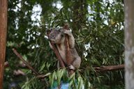 Koala in Eukalyptuswald