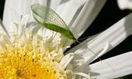 Die erwachsene Florfliege wird nicht größer als 15 Zentimeter.