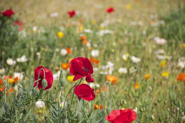 Wildblumen wie Klatschmohn sind besonders geeignet für eine Blumenwiese.