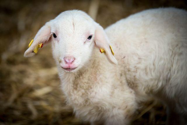 Achte beim Kauf von Lammfell auf das Tierwohl.