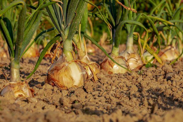 Durch Fruchtfolgen und Fruchtwechsel erhält die ökologische Landwirtschaft die Fruchtbarkeit des Bodens.