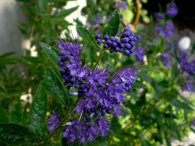 Das Laub der Bartblume enthält ätherische Öle.