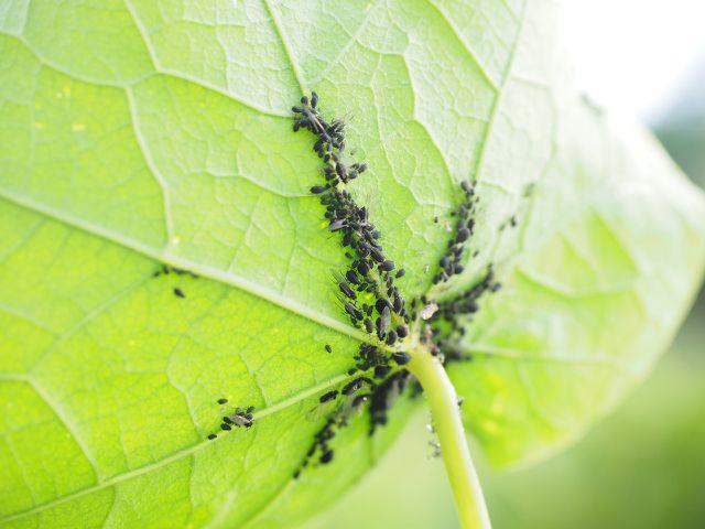 Blattläuse lassen sich mit Seifenlauge bekämpfen.
