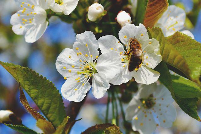 Bekämpfe Apfelwickler mit natürlichen Feinden