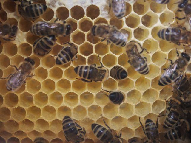 Varroamilben setzen sich in die Brutwaben, bevor die Bienen diese verschließen.