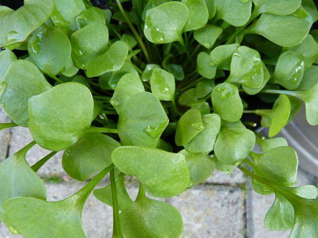 Postelein kannst du ganz einfach im Garten oder am Balkon pflanzen.