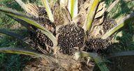 Palmöl wächst oft dort, wo vorher Regenwald war.