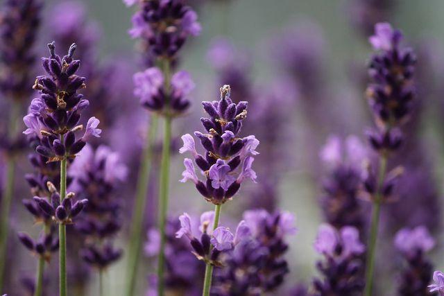 Für Lavendeltee werden ausschließlich die Blüten verwendet.
