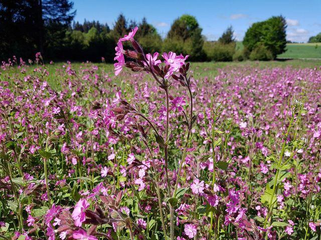 Wenn du Pechnelken in deinen Garten pflanzt, sorgst du für einen purpurnen Hingucker.
