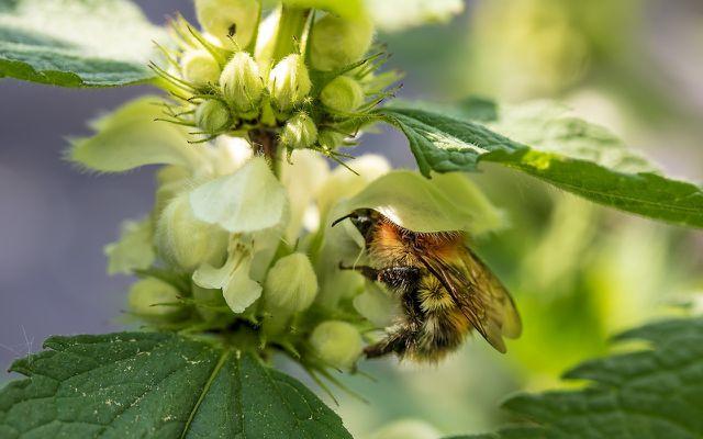 Taubnesseln sind eine wichtige Nahrungsquelle für Bienen und Hummeln.