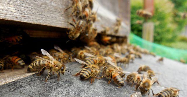 Ein Bienenvolk teil sich, um sich zu vermehren