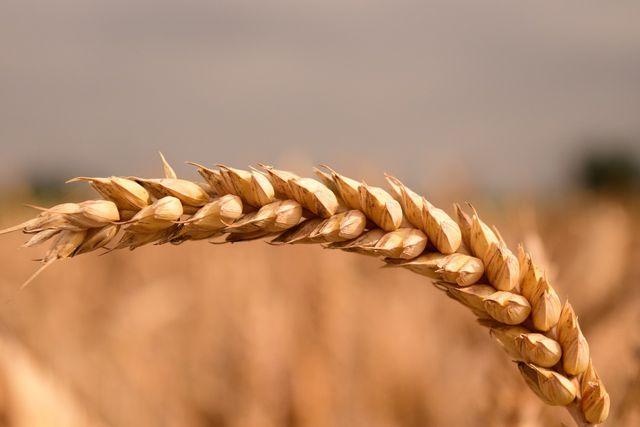 Weizen ist das am meisten angebaute Getreide in Deutschland.