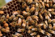 Die fleißigen Bienchen sammeln nicht nur Nektar, sondern auch Honigtau.
