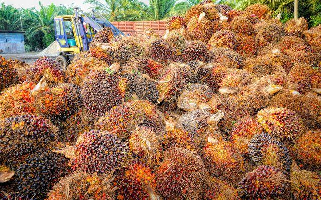 Aus diesen Früchten gewinnt man Palmfette und die Ölpalme ist im Vergleich zu anderen Ölpflanzen extrem ertragreich.