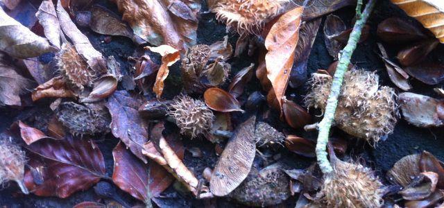 Wer die Augen offen hält kann im Herbst viele Bucheckern auf dem Waldboden finden.
