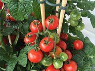 Als Rankhilfe für Tomaten eigenen sich Stangen sehr gut.