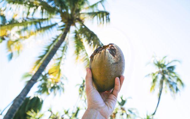Kokosnuss nach der Ernte