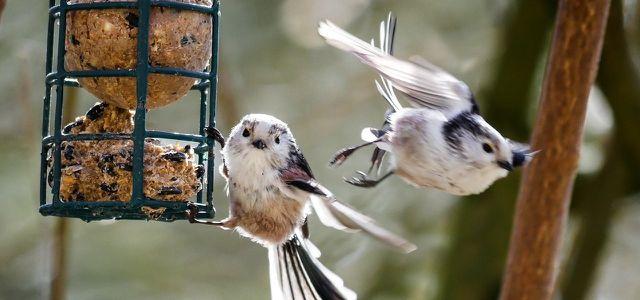 Selbst gemachte Meisenknödel sind ein Leckerbissen für Vögel im Winter