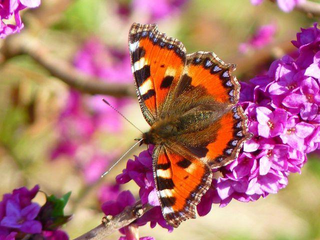 Während Seidelbast wertvolle Nahrung für Schmetterlinge bietet, ist die Pflanze für Menschen giftig.