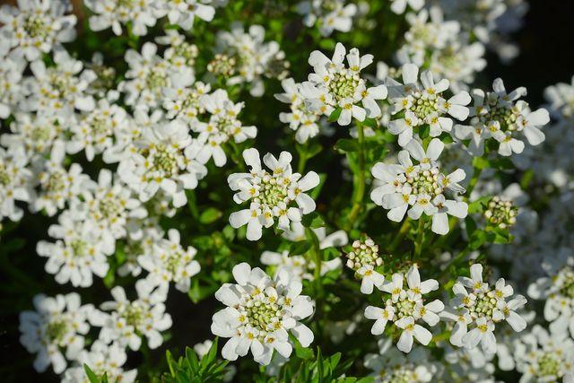 Die Schleifenblume gibt es auch in immergrünen Sorten, die deinen Garten das ganze Jahr über verschönern.