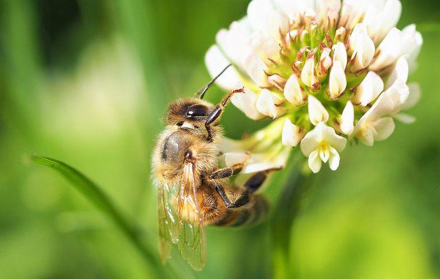 Klee als sommerliche bienenfreundliche Pflanze.