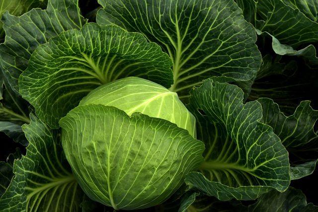 Weißkohl dient als Ausgangsprodukt für Sauerkraut und damit auch Sauerkrautsaft.