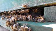 Die westliche Honigbiene gehört zu den bekanntesten Bienenarten.