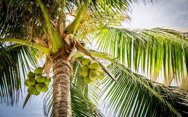 Kokos: So wächst die Kokosnuss auf der Kokospalme.