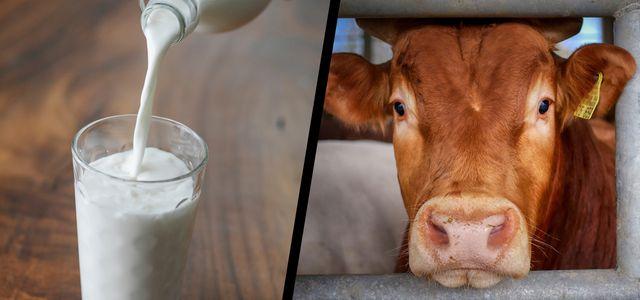 Ist Milch gesund - oder ungesund?