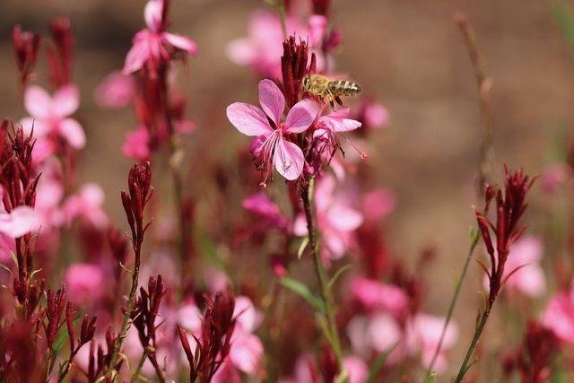Die Prachtkerze ist bei Bienen beliebt.