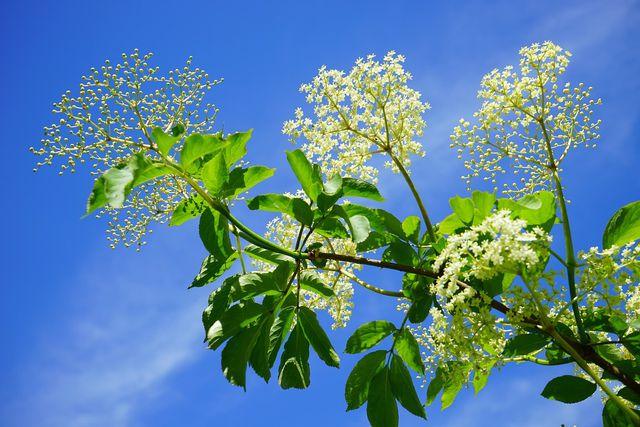 Mit Hilfe von Stecklingen kannst du im Juni Holunder vermehren.