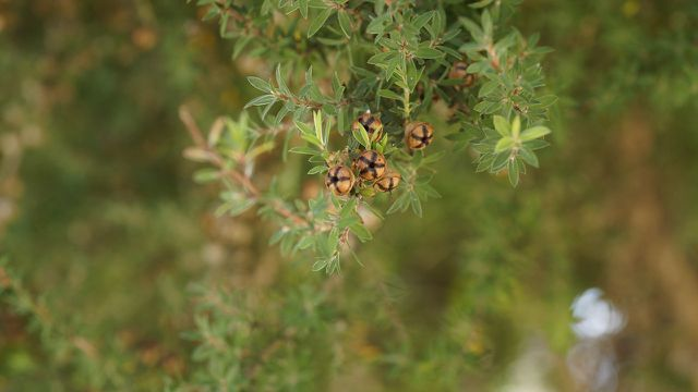 Teebaumöl kann nicht nur bei Pickeln helfen, sondern auch Poren reinigen.