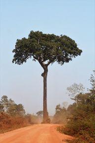 Paranussbäume wachsen nur sehr langsam nach.