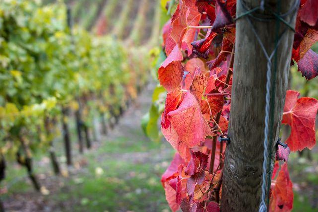 Roten Weinlaub mit Rutin ist altbewährt bei müden Beinen.