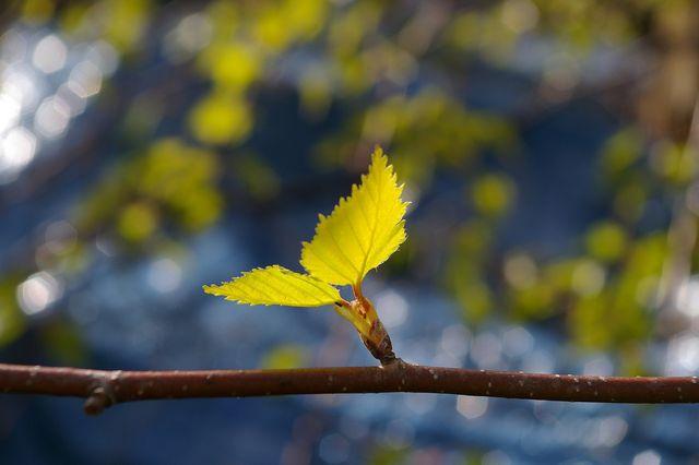 DIe jungen Birkenblätter eignen sich besonders gut für Birkenblättertee.