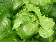 Mit der richtigen Pflege erreicht Zuckerhut-Salat ein Gewicht von bis zu zwei Kilogramm.
