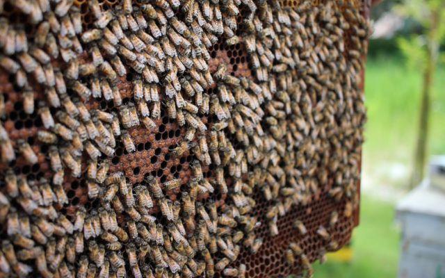 Bees Superorganism