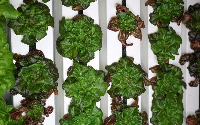vertical farming lettuce