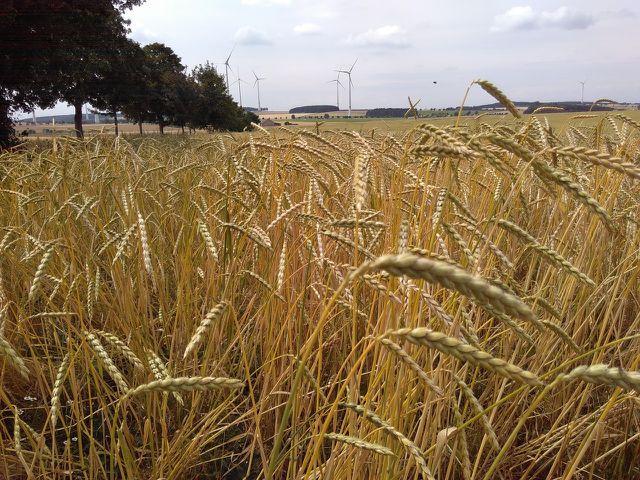 Dinkel wächst heimisch und meist ohne Pestizide - und hat daher eine gute Ökobilanz.